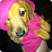 Adopt A Pet :: Brown Sugar - Grand Rapids, MI