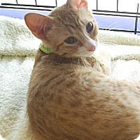 Adopt A Pet :: Red Buttons - Seminole, FL