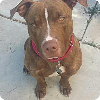 Adopt A Pet :: Ness - Scottsdale, AZ