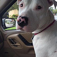 American Bulldog Mix Dog for adoption in Tampa, Florida - Keller & Hope (Bonded Pair)