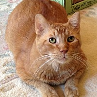 Abyssinian Cat for adoption in Houston, Texas - Newman