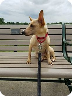 Terrier (Unknown Type, Medium) Mix Dog for adoption in Caldwell, New Jersey - Chickpea ~ Bond Girl!