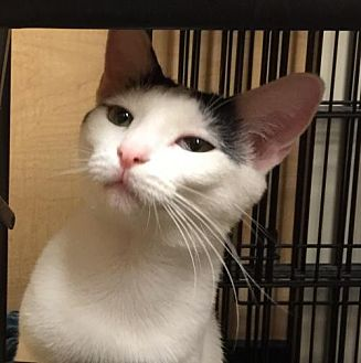 Domestic Shorthair Cat for adoption in Atlanta, Georgia - Cassandra