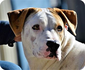 Anatolian Shepherd/Shepherd (Unknown Type) Mix Dog for adoption in Lincolnton, North Carolina - Judy