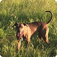 Adopt A Pet :: Kira - Austin, TX