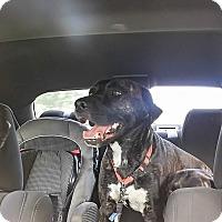 Adopt A Pet :: Clyde - Warren, MI