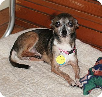 Chihuahua Dog for adoption in Umatilla, Florida - Nicki