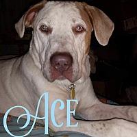 Adopt A Pet :: Ace - Cheney, KS