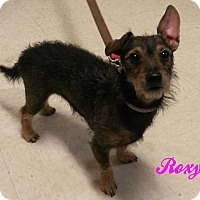 Adopt A Pet :: Roxy - Muskegon, MI