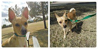 Chihuahua Mix Dog for adoption in Scottsdale, Arizona - Bronson