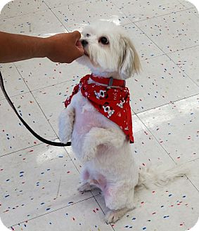 Petit Basset Griffon Vendeen/Poodle (Miniature) Mix Dog for adoption in Scottsdale, Arizona - Boomer