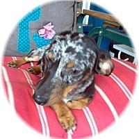 Adopt A Pet :: Trooper - Tucson, AZ