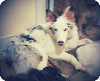 Australian Shepherd Dog for adoption in Madison, Tennessee - Xander loves kids!