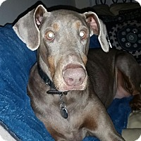 Adopt A Pet :: Shelby - New Richmond, OH