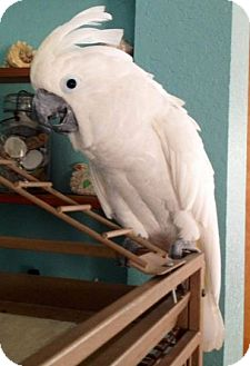 Cockatoo for adoption in Tampa, Florida - Kiki