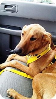 Labrador Retriever/Greyhound Mix Dog for adoption in Solebury, Pennsylvania - Jake