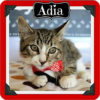 Domestic Shorthair Kitten for adoption in Arlington, Texas - Adia