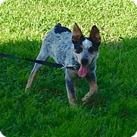Adopt A Pet :: Max~Prison Trained - Hazard, KY
