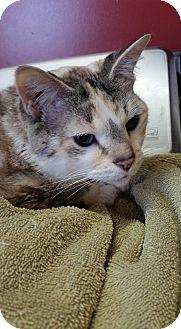 Siamese Cat for adoption in Monterey, Virginia - Beatrix