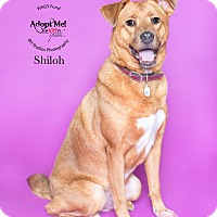 Adopt A Pet :: Shiloh - Houston, TX
