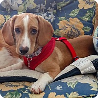 Adopt A Pet :: Drake - Charleston, SC