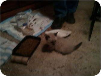 Siamese Kitten for adoption in Hampton, Connecticut - 3 Kittens