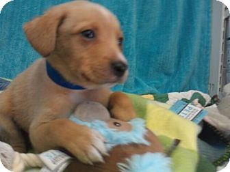 Labrador Retriever Mix Puppy for adoption in Waldorf, Maryland - Cooper #437