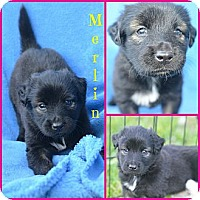 Adopt A Pet :: Merlin - Plano, TX