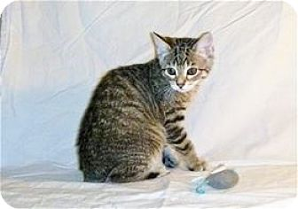 Domestic Mediumhair Kitten for adoption in Nashville, Tennessee - Willow
