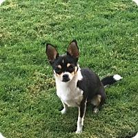 Adopt A Pet :: Moose - Seattle, WA