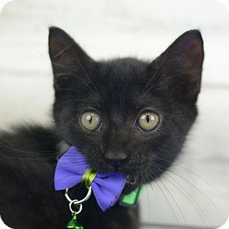 Domestic Shorthair Kitten for adoption in LAFAYETTE, Louisiana - POKEY