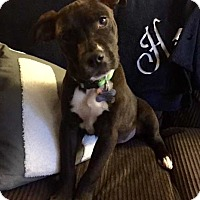 Adopt A Pet :: Lily in CT - Manchester, CT