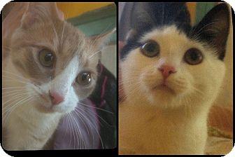 Domestic Shorthair Cat for adoption in Kensington, Maryland - Ginger & Panda