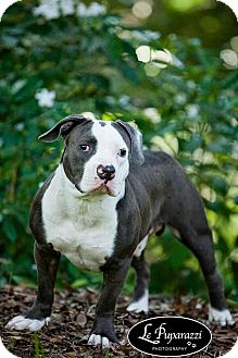 American Pit Bull Terrier/American Staffordshire Terrier Mix Dog for adoption in Orlando, Florida - Mondo