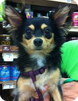 Chihuahua Puppy for adoption in Studio City, California - Mindy