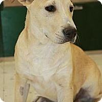 Adopt A Pet :: Shane - Phoenix, AZ