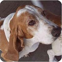 Adopt A Pet :: Arlo - Phoenix, AZ
