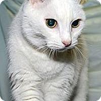 Adopt A Pet :: Snowball - New York, NY