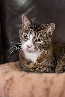 Domestic Shorthair Cat for adoption in Stafford, Virginia - Starla