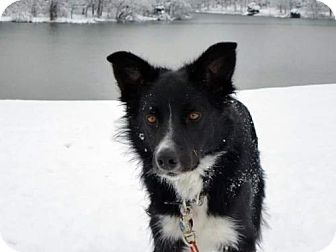 Border Collie Dog for adoption in Highland, Illinois - Jacob (Courtesy Listing  from Georgetown, KY)