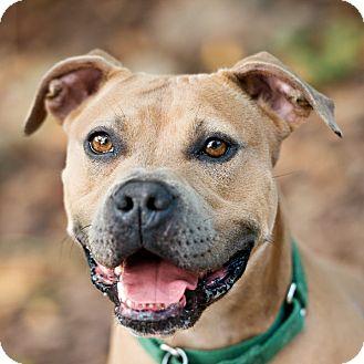 English Bulldog/American Pit Bull Terrier Mix Dog for adoption in Houston, Texas - Cava