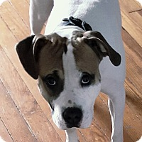 Adopt A Pet :: Major (COURTESY POST) - Baltimore, MD