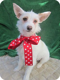 Westie, West Highland White Terrier/Terrier (Unknown Type, Small) Mix Puppy for adoption in Irvine, California - NADIA