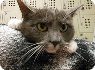 Domestic Shorthair Cat for adoption in Reston, Virginia - Maddie