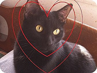 Domestic Shorthair Cat for adoption in Madisonville, Louisiana - Cutter