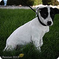 Adopt A Pet :: Bluebell - Broomfield, CO