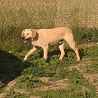 Mountain Cur Dog for adoption in Upper Sandusky, Ohio - Duncan