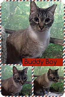 Siamese Cat for adoption in McDonough, Georgia - Buddy Boy
