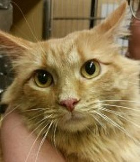Domestic Mediumhair Cat for adoption in McHenry, Illinois - Spunky