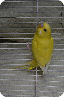 Parakeet - Other for adoption in Ogden, Utah - Eclipse